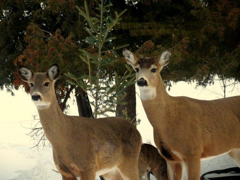 Gunflint Lodge 2 deeronalert